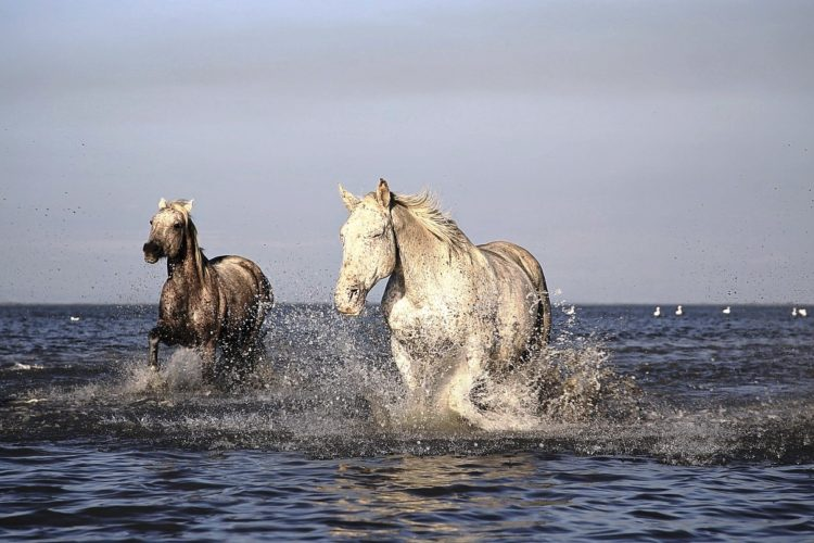 Camargue: i cavalli bianchi